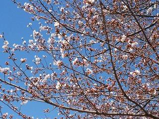Sakura2011